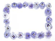 Schöne purpurrote Pansies vereinbart in einem Quadrat, lokalisiert, auf Whit Stockfoto