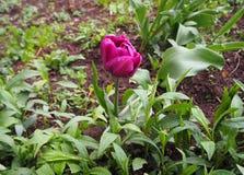 Schöne purpurrote Tulpe mit den Tropfen des Regens stockbild