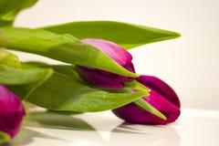 Schöne purpurrote Tulpen mit grünen Blättern Stockfotos
