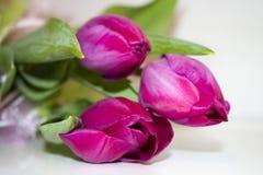 Schöne purpurrote Tulpen mit grünen Blättern Stockfoto