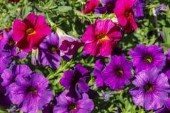 Schöne purpurrote und rosa Frühlingsblumen Lizenzfreies Stockbild