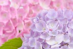 Schöne purpurrote und rosa Hortensie-Blumen Stockfoto