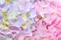 Schöne purpurrote und rosafarbene Hydrangea-Blumen Stockfotografie