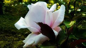 Schöne purpurrote und weiße Farbe-Rosen-Blume stockbild