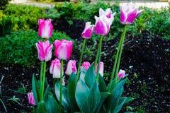 Schöne purpurrote und weiße Tulpenblumen Stockbilder