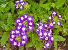 Schöne purpurrote Verbeneblumen Stockfoto