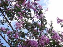 Schöne queen's kräuseln myrtler Blumen mit blauem Himmel und blured Wolke Stockfotos