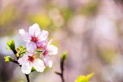 Schöne realistische Kirschniederlassung Kirschblütes Japan mit blühendem flo Lizenzfreie Stockfotos