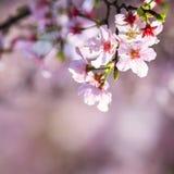Schöne realistische Kirschniederlassung Kirschblütes Japan mit blühendem flo Stockfotos
