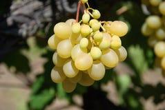 Schöne reife gelbe Trauben der Niederlassung, die im Weinberg wachsen Stockfotografie
