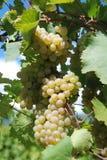 Schöne reife gelbe Trauben der Niederlassung, die im Weinberg wachsen Lizenzfreies Stockbild