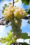 Schöne reife gelbe Trauben der Niederlassung, die im Weinberg wachsen Stockfotos