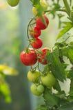 Schöne reifende Tomaten Lizenzfreies Stockbild