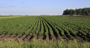 Schöne Reihen auf dem Feld gepflanzt mit Kartoffeln lizenzfreies stockfoto