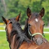 Schöne reinrassige Pferde stockbild