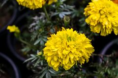 Schöne Ringelblumenblumen in den Töpfen Stockbild