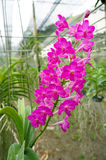 Schöne rosa Ascocenda-Orchideen stockfotos