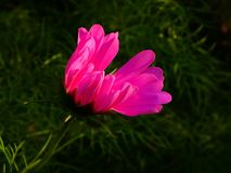 Schöne rosa Blume, die das Sonnenlicht sucht stockbild