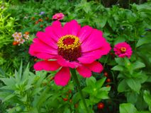 Schöne rosa Blume in einem Garten Lizenzfreies Stockfoto