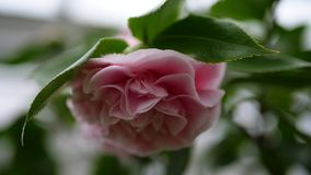 Schöne rosa Blume mit grünem Hintergrund Stockbild