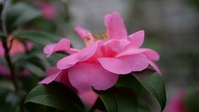 Schöne rosa Blume mit grünem Hintergrund Lizenzfreie Stockbilder