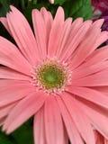Schöne rosa Blume mit grüner Mitte Stockbild