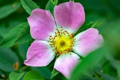 Schöne rosa Blume mit reizendem gelbem ausführlichem budd lizenzfreie stockfotografie