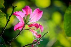 Schöne rosa Blume: Phanera-purpurea Stockfotos