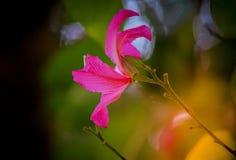 Schöne rosa Blume: Phanera-purpureaorchid Baum, Hong Kong-orchideenbaum, purpurroter Bauhinia, Kamel ` s Fuß, Schmetterlingsbaum, Stockfotos