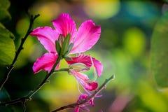 Schöne rosa Blume: Phanera-purpureaorchid Baum, Hong Kong-orchideenbaum, purpurroter Bauhinia, Kamel ` s Fuß, Schmetterlingsbaum, Lizenzfreie Stockfotos