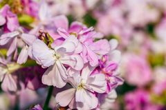 Schöne rosa Blumen Lizenzfreies Stockbild