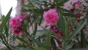 Schöne rosa Blumen stock footage