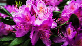 Schöne rosa Blumen Stockfotografie