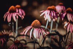 Schöne rosa Blumen auf grünem Hintergrund Corrigated-Oberfl?che, Lauf unten, benutzt Echinacea purpurea Magnus Medizinische n?tzl lizenzfreies stockbild
