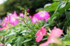 Schöne rosa Blumen des selektiven Fokus auf grünem Garten im sonnigen Licht am Naturpark Lizenzfreie Stockfotos