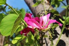 Schöne rosa Blumen des selektiven Fokus von Phanera-purpurea auf grünem Garten im sonnigen Licht am Naturpark Stockbild