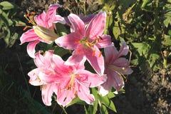 Schöne rosa Blumen in einem Datschagarten Lizenzfreies Stockbild