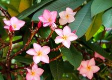 Schöne rosa Blumen im Garten Lizenzfreies Stockfoto