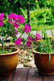 Schöne rosa Blumen im Garten, Blumenim hintergrundfrühling und im Sommerkonzept Weichzeichnung rosa Bouganvilla glabra Choisy Lizenzfreie Stockfotografie