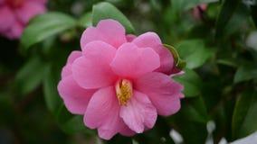 Schöne rosa Blumen im Garten mit grünem Hintergrund Lizenzfreie Stockbilder