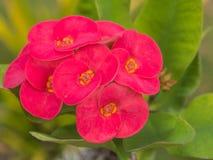Schöne rosa Blumen von Dornenkrone oder Christus-Dornenabschluß Lizenzfreies Stockfoto