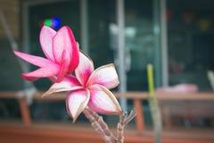 Schöne rosa Farbblumen im Vorgarten Lizenzfreie Stockfotos