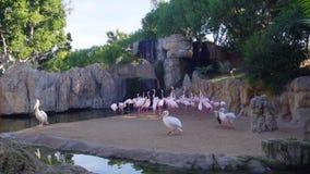 Schöne rosa Flamingos auf Teich stock video footage