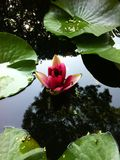 Schöne rosa Flieder lizenzfreies stockfoto