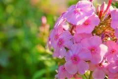 Schöne rosa Gartenblume Stockfotos
