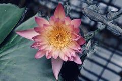 Schöne rosa gelbe Lilie im Wasser lizenzfreie stockbilder
