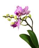 Schöne rosa gestreifte Orchidee Stockfotos