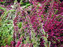 Schöne rosa Heide in der Blüte Lizenzfreie Stockbilder