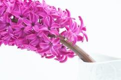 Schöne rosa Hyazinthe Stockfotografie