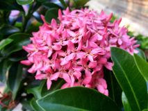 Schöne rosa ixora Blume Stockfotos